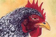 Chicken Cards Gallery